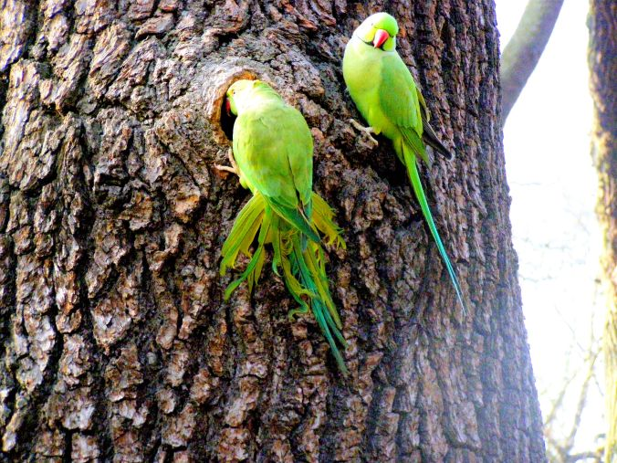 Green Parakeets in Richmond Park. Sometimes, even on a favourite walk, it pays to look up. Perhaps these visitors don't know that Richmond Park was created by Charles I in the 17th century as a deer park. https://witness.theguardian.com/assignment/539af314e4b011e8e59e9eb3/1544036