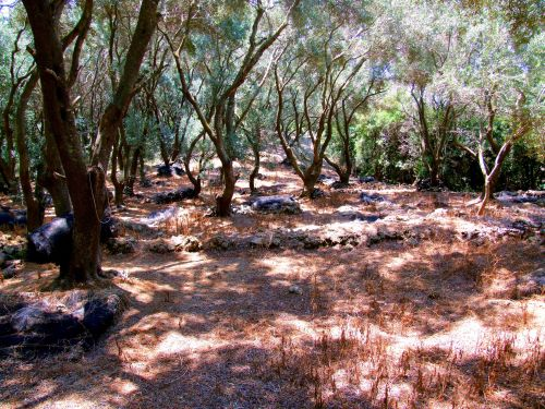Moraitiki, Corfu. A walk in Corfu through the dappled shade of the woods above Moraitika during my search for some of its four million olive trees, some of which are five hundred years old. https://witness.theguardian.com/assignment/557aebafe4b0e706bc8bda9f/1568810